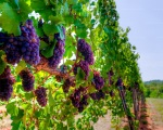 Red Vineyard HDR (Pollak Vineyards)
