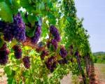 Red Vineyard HDR (Pollak Vineyards)
